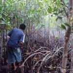 Mangrove Pasitallu 1