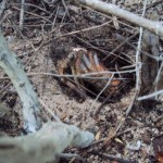 Mangrove Pasitallu 2