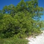 Mangrove Tarupa 1