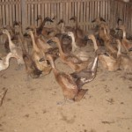 KUP Itik Rajuni 2011 005
